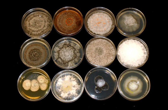 Diversity and Antimicrobial Activity of Culturable Fungal Endophytes in Solanum mauritianum